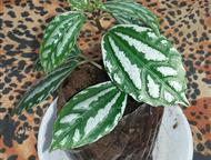 Пилея - отросток комнатного растения илея Кадиера или Кадье, или серебряная (Pilea cadierei). Этот вид пилеи растет в девственных тропических лесах Юг, Казань - Разное