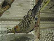Попугай Корелла Корелла 5 месяцев, Магнитогорск - Птички, клетки