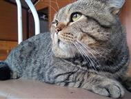 Шотландский котик Скоттиш страйт Шотландский котик приглашает кошечку на вязку, Новосибирск - Вязка кошек (случка)