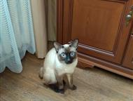 Новосибирск: Меконский бобтейл ищет кошечку для вязки Породистый кот Меконский бобтейл с хорошей родословной, 1, эх5года, из Московского питомника, здоров, привит,